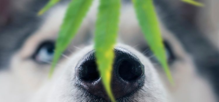 cbd-helps-treat-osteoarthritis-and-increase-mobility-in-dogs,-study-finds